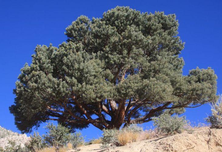 Pinyon_pine_Pinus_monophylla-58e943c53df78c5162fe7bcc