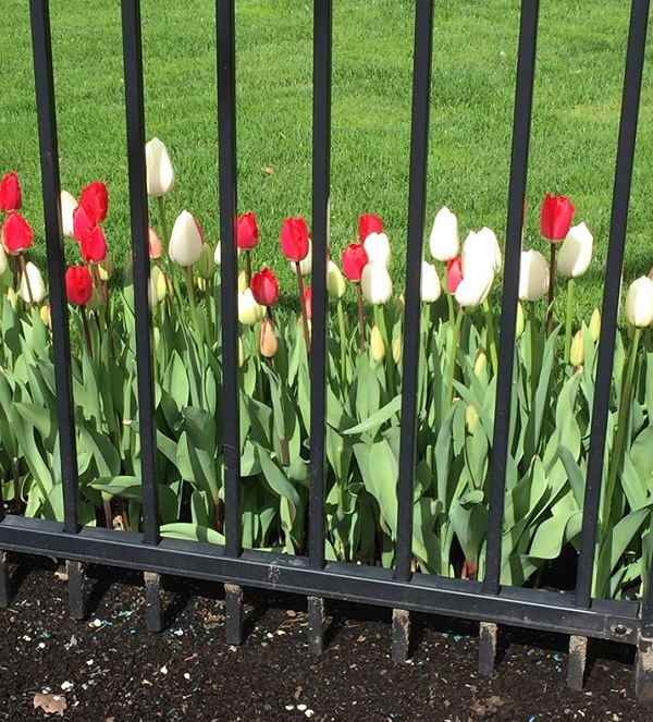 19B. Tulips in Jail