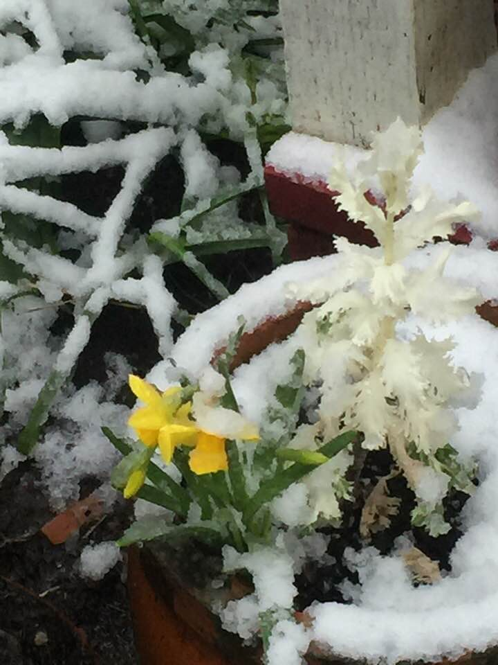 7 Daffodil in snow