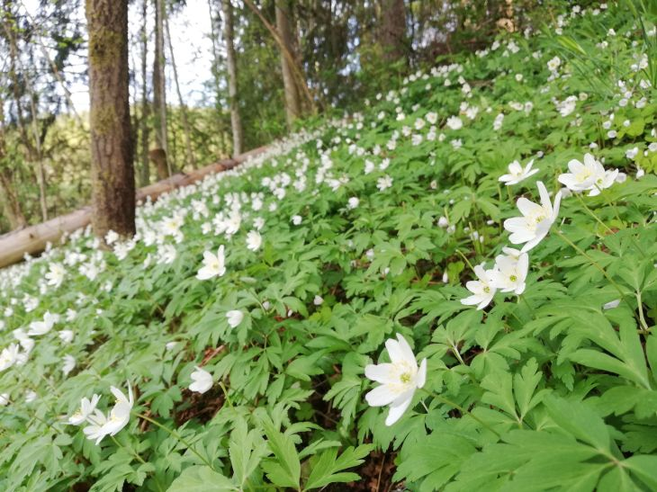 Anemones in the forest 2